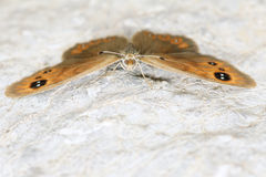 Nymphalidae butterfly. The frontal close-up of nymphalidae butterfly with brown wings Stock Photos