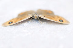 Nymphalidae butterfly. The frontal close-up of nymphalidae butterfly with brown wings Royalty Free Stock Photo