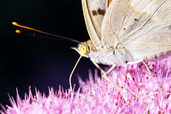 Nymphalidae butterfly. The head close-up of Nymphalidae butterfly. Scientific name:Apatura ilia Stock Image