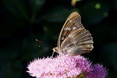 Nymphalidae butterfly. The lateral close-up of Nymphalidae butterfly(Scientific name:Apatura ilia) on pink sedum flowers Royalty Free Stock Image