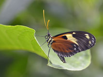 Nymphalidae butterfly on leaf Stock Images