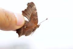 Nymphalidae butterfly. A Nymphalidae butterfly(Scientific name:Polygonia c-aureum) was captured Stock Images
