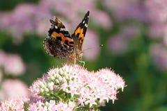 Nymphalidae butterfly. The Nymphalidae butterfly(Scientific name: Vanessa indica) feeds nectar of Sedum spectabile Stock Image