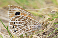 Nymphalidae butterfly Royalty Free Stock Images