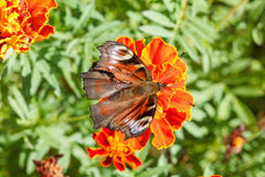 Nymphalidae, colorful butterfly Royalty Free Stock Photos