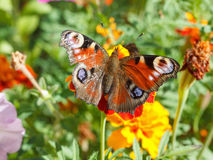Nymphalidae, colorful butterfly Royalty Free Stock Photography