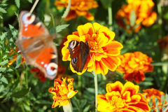 Nymphalidae, colorful butterfly Stock Photo