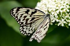 Nymphalidae da borboleta da passiflora foto de stock