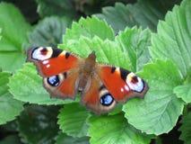 Nymphalidae de famille de papillon de paon sur une feuille verte photo libre de droits