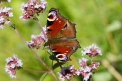 Nymphalidae de la familia de la mariposa de pavo real Foto de archivo