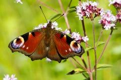 Nymphalidae de la familia de la mariposa de pavo real Imagen de archivo