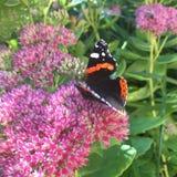 Nymphalidae Inachis io-Schmetterling sitzt auf einem blühenden Busch Lizenzfreie Stockfotografie