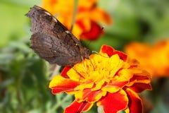 Nymphalidae, kolorowy motyl Obraz Stock