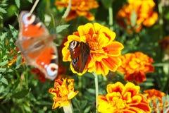 Nymphalidae, kolorowy motyl Zdjęcie Stock