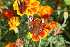 Nymphalidae, kolorowy motyl Zdjęcia Royalty Free
