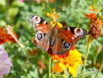 Nymphalidae, mariposa colorida Fotografía de archivo libre de regalías