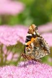 Nymphalidae motyl Obraz Royalty Free