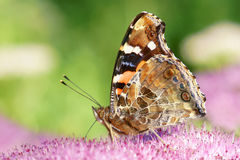 Nymphalidae motyl Obraz Stock