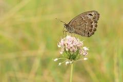 Nymphalidae motyl Obrazy Stock