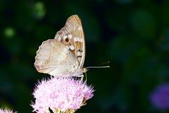Nymphalidae motyl Obrazy Royalty Free