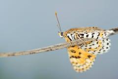 Nymphalidae motyl Fotografia Stock