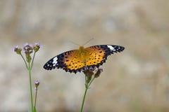 Nymphalidae Stock Image