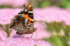 Nymphalidaefjäril Arkivfoto