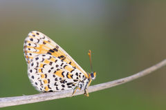 Nymphalidaefjäril Royaltyfri Fotografi