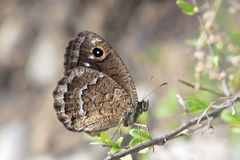 Nymphalidaefjäril Arkivbild