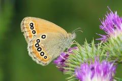 Nymphalidaefjäril Arkivbilder