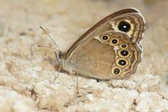 Nymphalidaeschmetterling Stockbild