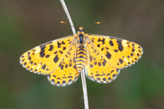 Nymphalidaeschmetterling Stockfotografie