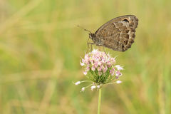 Nymphalidaevlinder Stock Afbeeldingen