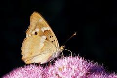 Nymphalidaevlinder Royalty-vrije Stock Foto