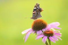 Nymphalidaevlinder Royalty-vrije Stock Afbeelding