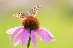 Nymphalidaevlinder Royalty-vrije Stock Afbeeldingen