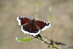 Nymphalis antiopa (Mourning Cloak or Camberwell beauty) Stock Images