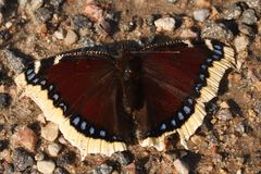 Free Nymphalis Antiopa Or Mourning Cloak Butterfly, Also Known As Camberwell Beauty Stock Image - 155003861