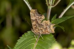 Nymphalis c-album, Polygonia c-album, Comma butterfly from Germany Royalty Free Stock Photography