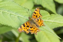 Nymphalis c-album, Polygonia c-album, Comma butterfly from Germany Stock Photos