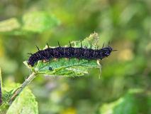 nymphalis io гусеницы бабочки стоковое изображение