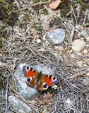Nymphalis io, butterfly resting on a rock Stock Images