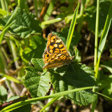 Nymphalis polychloros, Large Tortoiseshell butterfly in wild plants Stock Photos