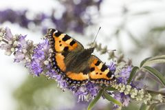 Nymphalis urticae (Aglais urticae), Small Tortoiseshell from Lower Saxony, Germany Stock Images
