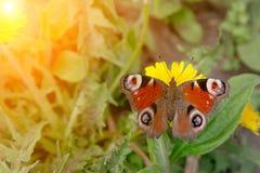 Nymphalis urticae Schmetterling Lizenzfreies Stockfoto