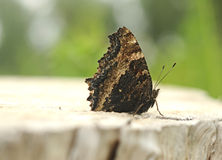 Nymphalis xanthomelas butterfly Royalty Free Stock Images