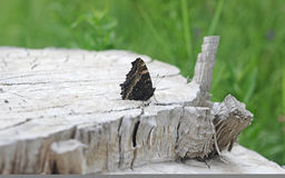 Nymphalis xanthomelas butterfly Royalty Free Stock Photography