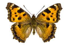 Nymphalis xanthomelas (Yellow-legged Tortoiseshell) Stock Photos