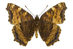 Nymphalis xanthomelas (Yellow-legged Tortoiseshell) Royalty Free Stock Images