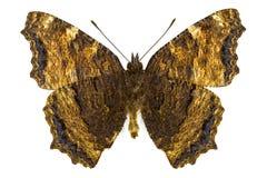 Nymphalis xanthomelas (Yellow-legged Tortoiseshell) Royalty Free Stock Images